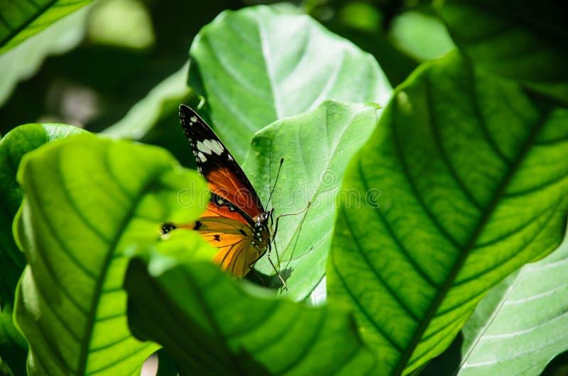 Bella farfalla della tigre in natura fotografie stock libere da diritti