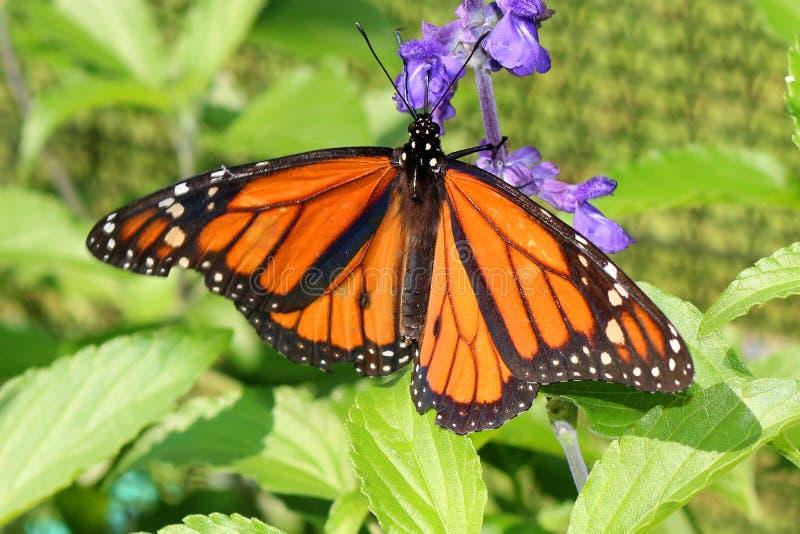Bella farfalla di monarca arancio e nera fotografie stock