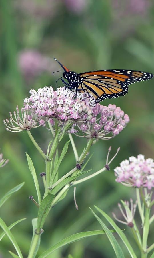 Bella farfalla di monarca che si alimenta sui fiori dentellare fotografia stock libera da diritti