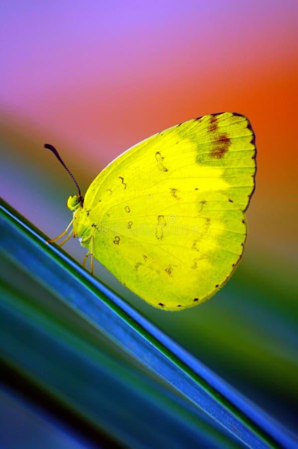 Bella farfalla gialla fotografie stock libere da diritti