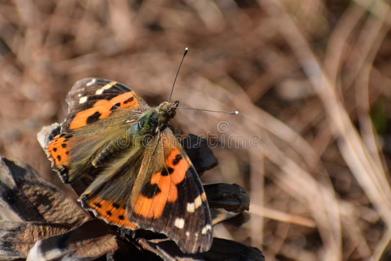Bella farfalla indica indiana della vanessa di ammiraglio rosso fotografia stock