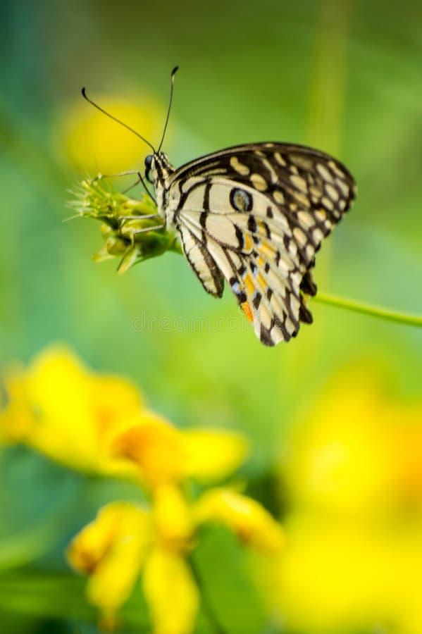 Bella farfalla motore che si siede sul germoglio del fiore con fondo confuso immagini stock libere da diritti