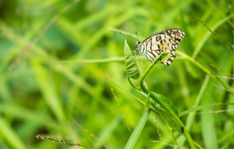 Bella farfalla motore selvaggia che si siede sui germogli di foglia con erba intorno nella mattina immagine stock libera da diritti