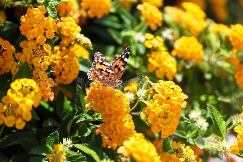 Bella farfalla normale della tigre che si appollaia sul fiore giallo immagini stock