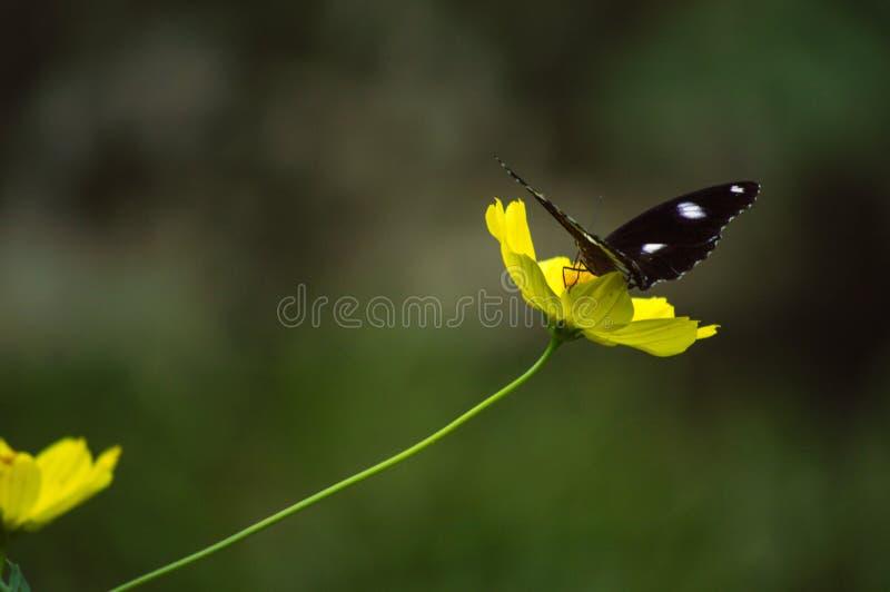 Bella farfalla selvaggia nera che si siede sul fiore giallo del petalo immagini stock