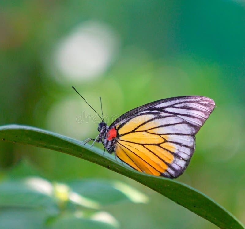 Bella farfalla su una foglia verde fotografia stock libera da diritti