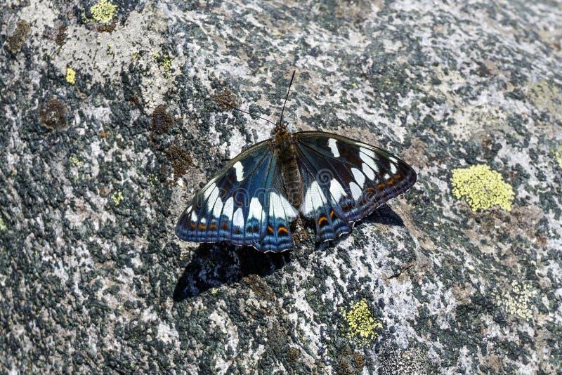 Bella farfalla su una pietra ruvida immagine stock