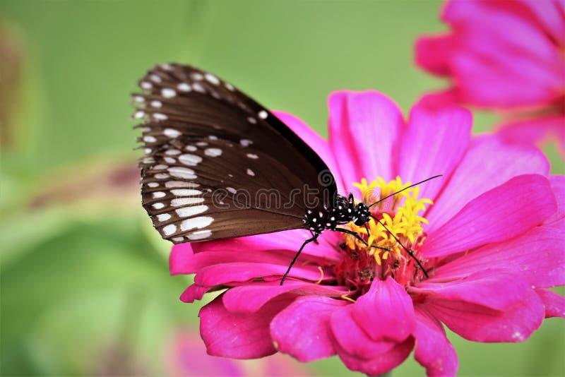 Bella farfalla sull'immagine di riserva libera della sovranità rosa del fiore fotografia stock