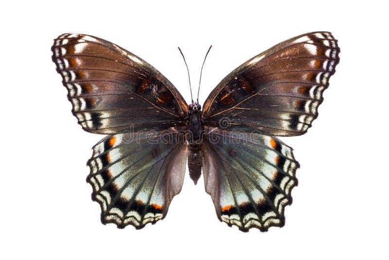 Bella farfalla variopinta con le ali marroni e blu-chiaro fotografie stock