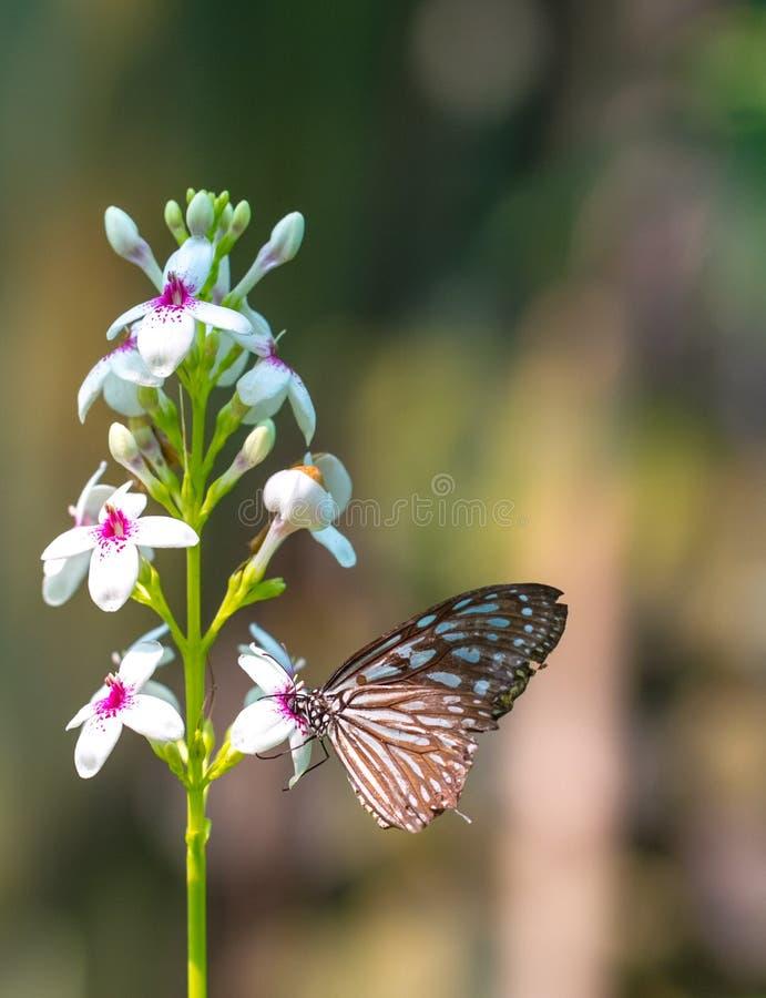 Bella farfalla vetrosa blu della tigre in un giardino immagini stock