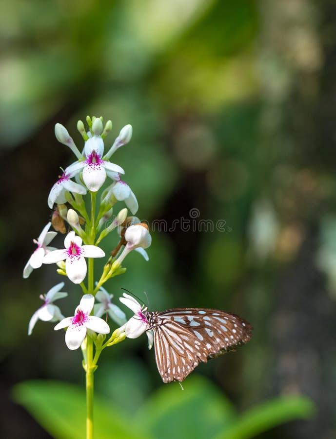 Bella farfalla vetrosa blu della tigre in un giardino fotografia stock