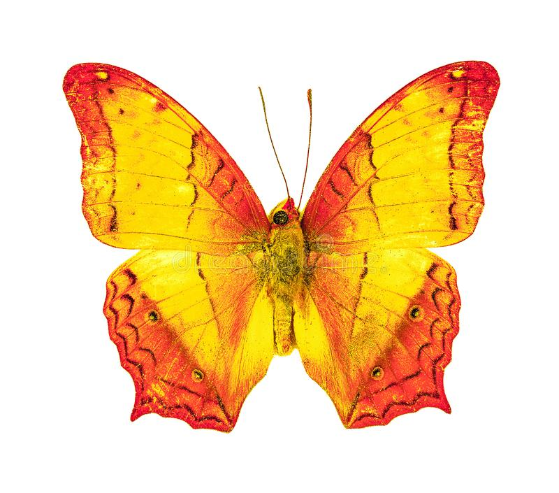 Bella farfalla volante, erota comune di vindula dell'incrociatore con completamente l'allungamento delle ali isolato su fondo bia fotografia stock libera da diritti