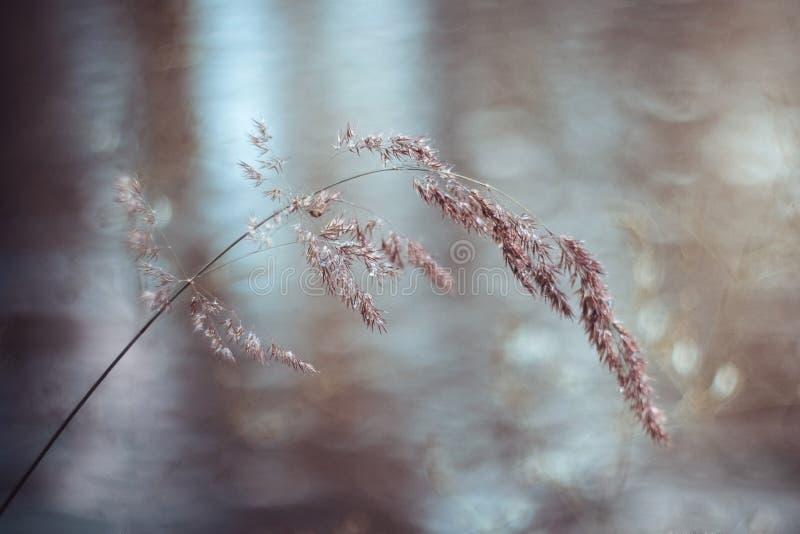 Bella fienarola dei prati, fienarola, poa pratensis dopo pioggia su fondo vago blu Lama di erba nelle goccioline di acqua fotografia stock