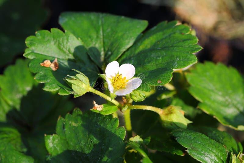 Bella fine del cespuglio di fragola sulla vista isolata Fogli di verde e fiore bianco immagine stock libera da diritti