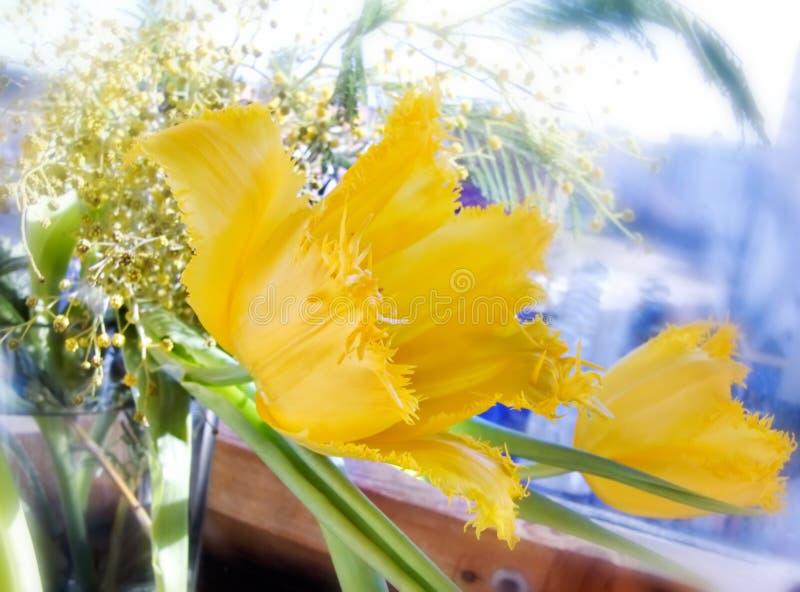 Bella fine gialla del tulipano su immagini stock