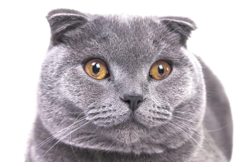 Bella fine grigia dalle orecchie pendenti scozzese del grande gatto immagini stock