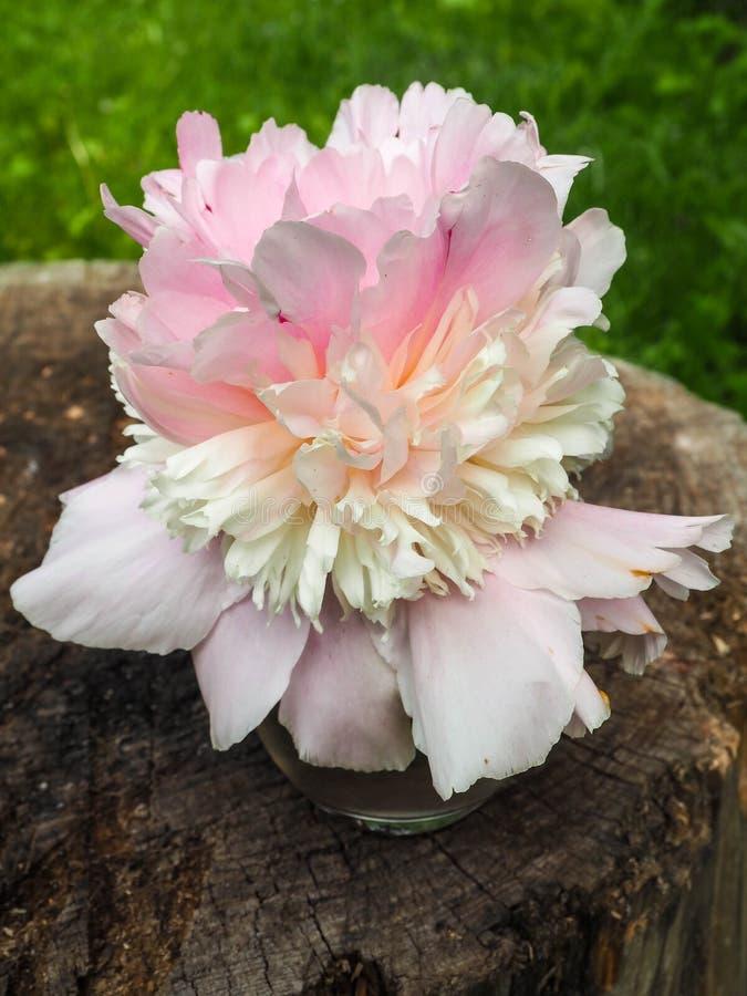 Bella fine rosa del fiore della peonia su fotografie stock