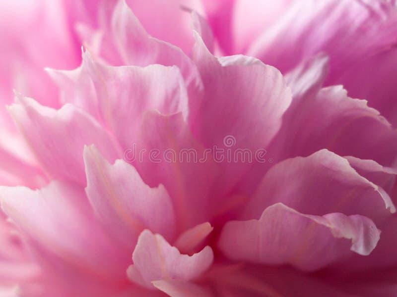 Bella fine rosa della peonia su Priorit? bassa astratta del fiore fotografia stock
