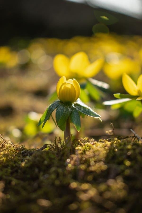 Bella fine sui fiori gialli della molla fotografia stock libera da diritti