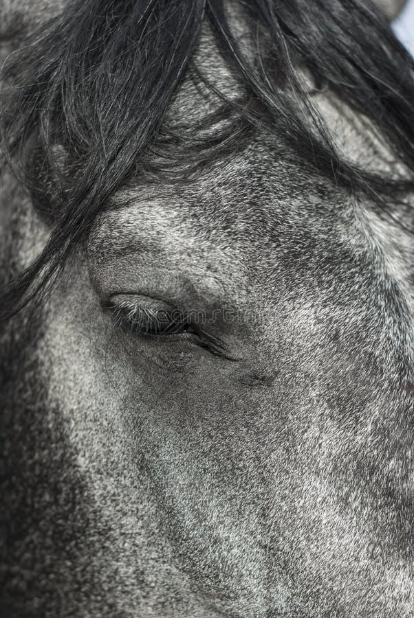 Bella fine sull'OS del ritratto un cavallo dell'azienda agricola, occhio a fuoco fotografie stock libere da diritti