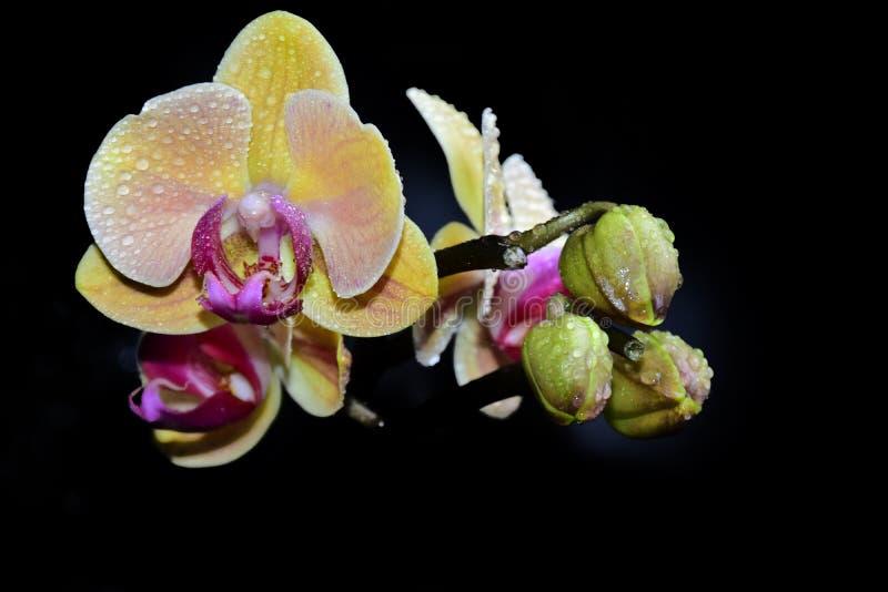 Bella fine variopinta dell'orchidea su nel sole fotografie stock