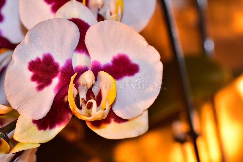Bella fine variopinta dell'orchidea su nel sole immagine stock libera da diritti
