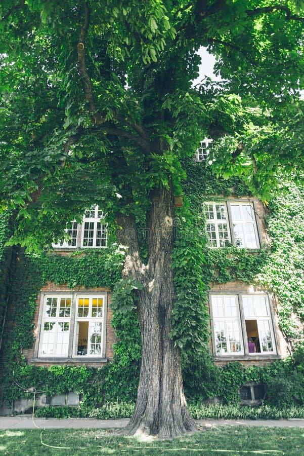 Bella finestra in una parete invasa dall'edera verde spessa fotografia stock