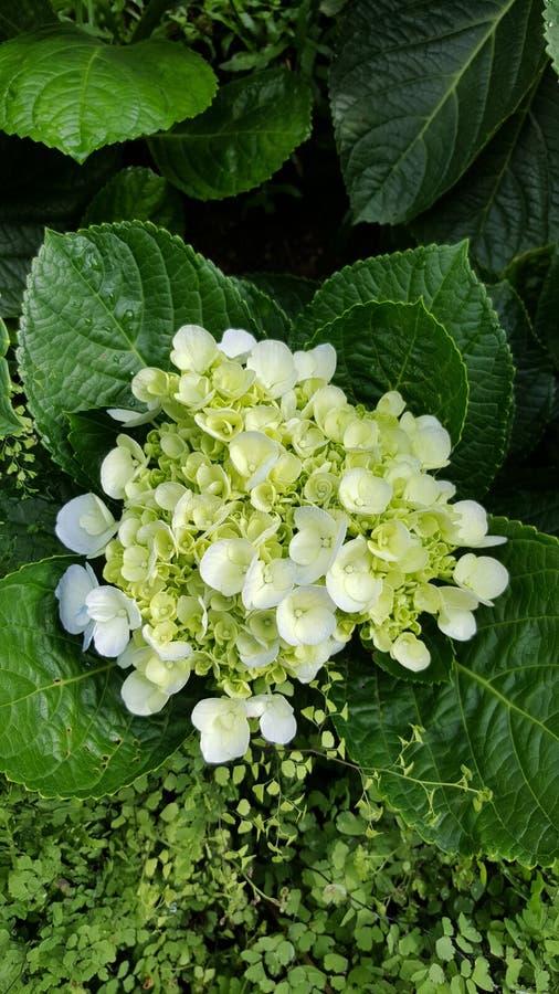 Bella fioritura del fiore bianco immagini stock