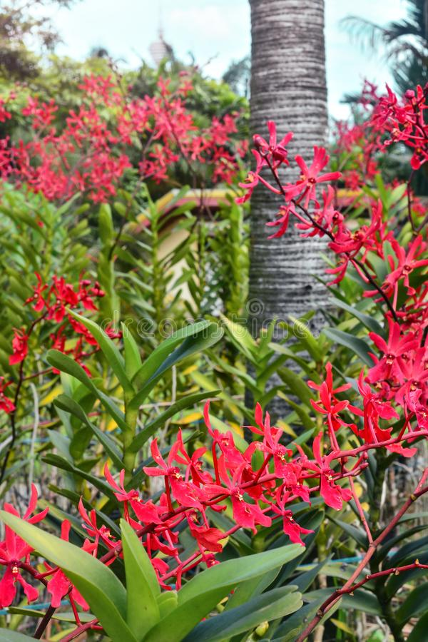 Bella floricultura rossa dell'orchidea nel giardino fotografie stock