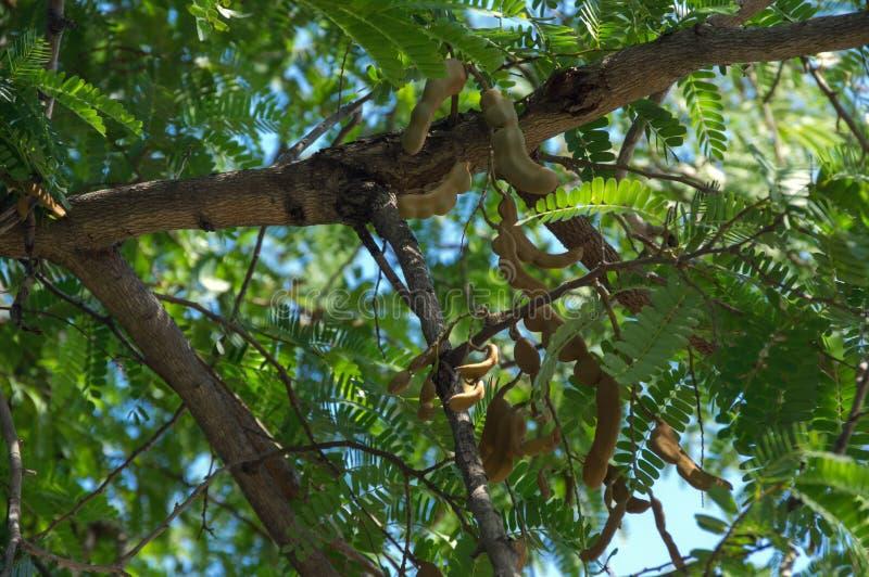 Bella foglia verde del tamarindo, frutta del tamarindo alla luce solare con il fondo del cielo blu fotografia stock