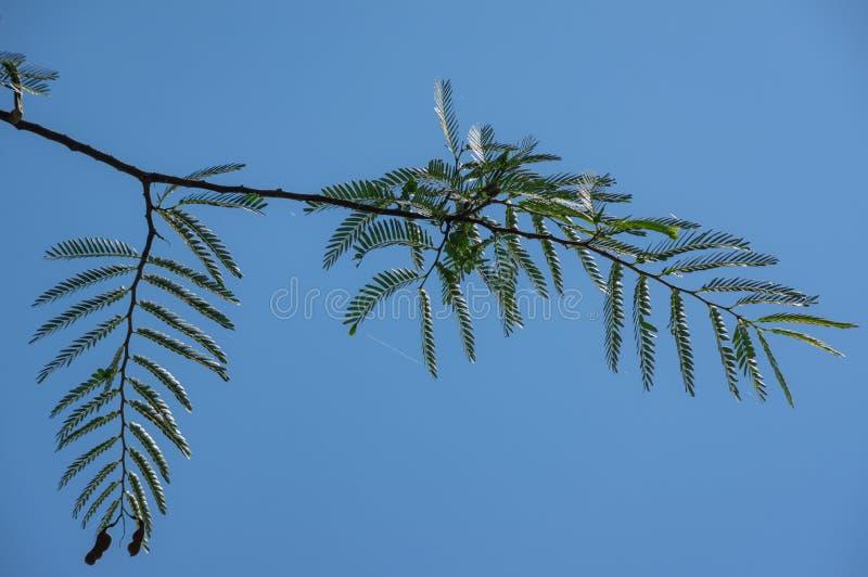Bella foglia verde del tamarindo, frutta del tamarindo alla luce solare con la parte 2 del fondo del cielo blu immagine stock libera da diritti