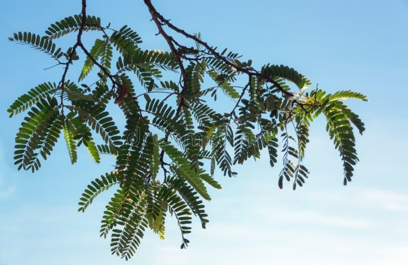 Bella foglia verde del tamarindo, frutta del tamarindo alla luce solare con la parte 3 del fondo del cielo blu fotografie stock
