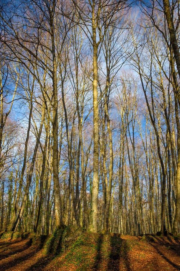 Bella foresta del faggio vicino alla città Olot in Spagna, La Fageda fotografia stock