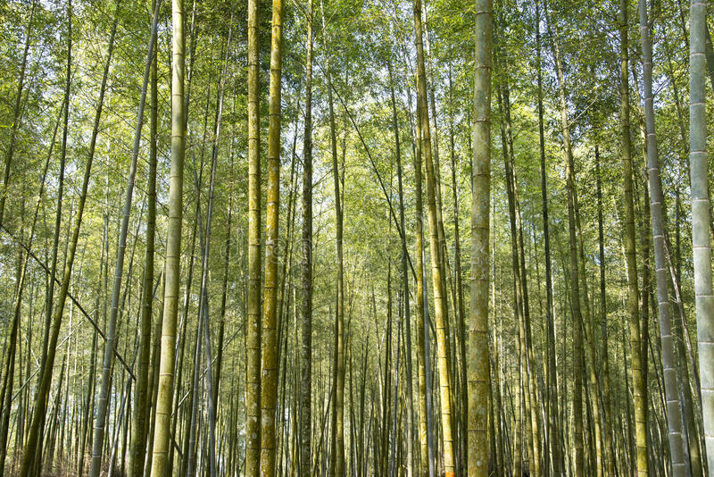 Bella foresta di bambù in Taiwan fotografia stock libera da diritti