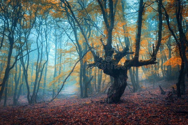 Bella foresta magica in nebbia in autunno Legno misterioso Fairyt immagini stock libere da diritti