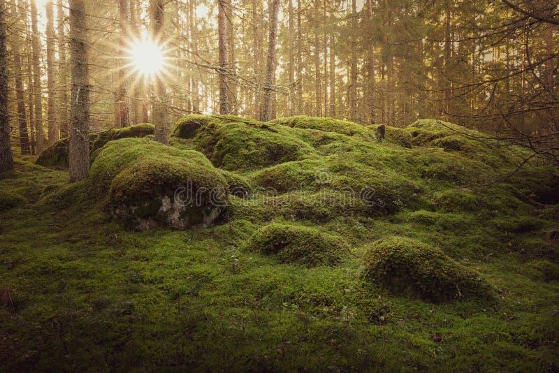 Bella foresta muscosa verde con i forti raggi di sole al tramonto fotografia stock