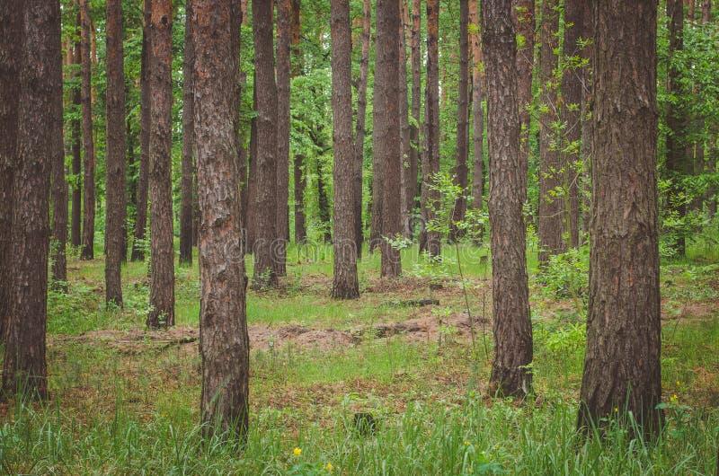 Bella foresta verde in primavera immagine stock
