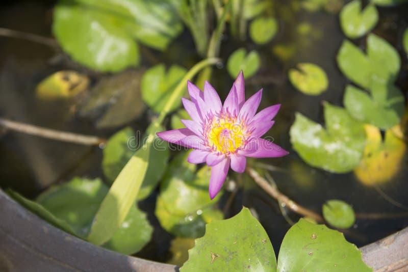 Bella foto di Lotus immagini stock