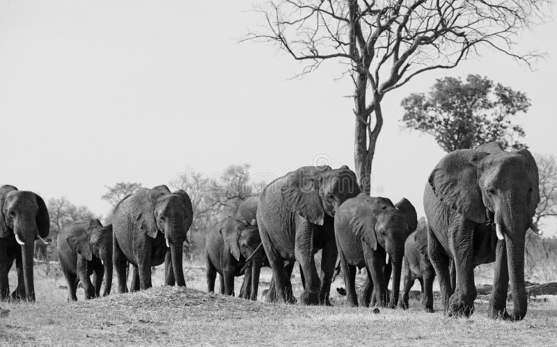 Bella foto iconica di un gregge degli elefanti che camminano attraverso il bushveld in bianco e nero immagine stock libera da diritti