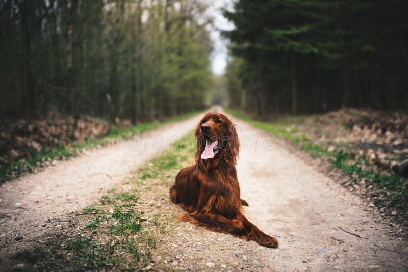 Bella giovane bugia del setter Irlandese su una terra nel cane da caccia della foresta in una natura concetto degli animali domes immagine stock libera da diritti