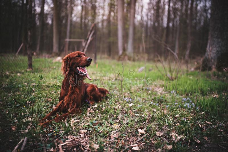 Bella giovane bugia del setter Irlandese su una terra nel cane da caccia della foresta in una natura concetto degli animali domes fotografia stock