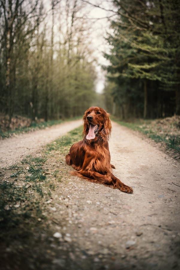 Bella giovane bugia del setter Irlandese su una terra nel cane da caccia della foresta in una natura concetto degli animali domes immagini stock