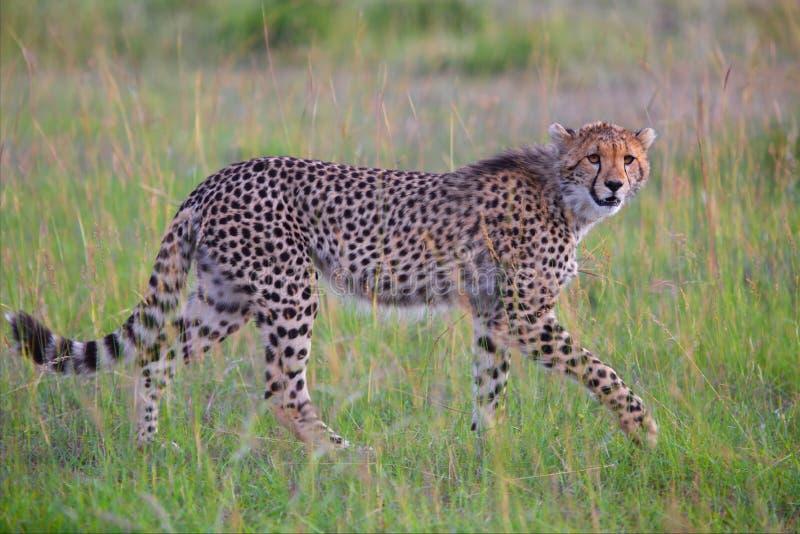 Bella giovane caccia del ghepardo a Mara masai fotografia stock libera da diritti