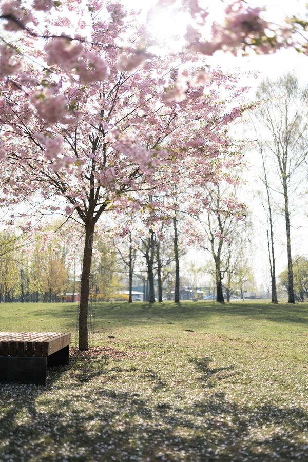 Bella giovane donna bionda nel parco di Sakura Cherry Blossom in primavera che gode della natura e del tempo libero durante lei c immagini stock libere da diritti