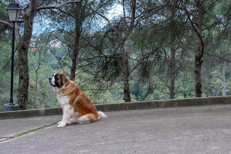 Bella grande sorveglianza di San Bernad del cane immagine stock libera da diritti