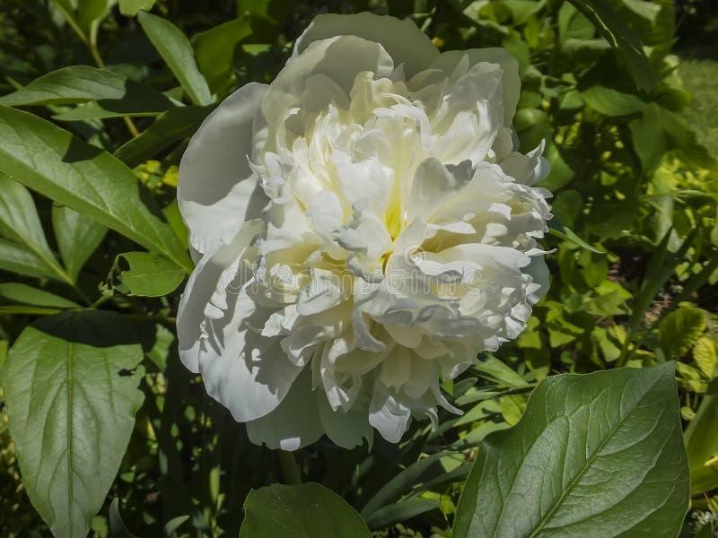 Bella grande testa delle fioriture bianche della peonia sotto il sole Fiore fragrante di stupore fotografia stock libera da diritti