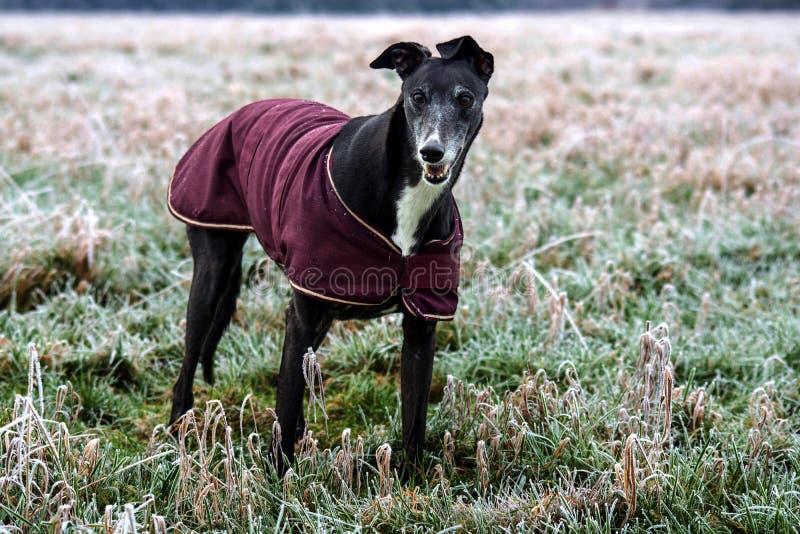 Bella Greyhound immagine stock