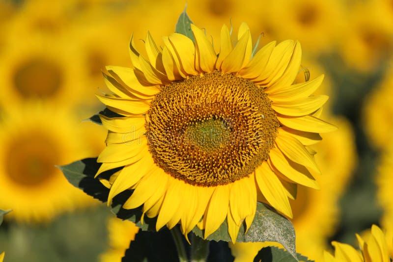 Bella immagine dei girasoli e di assorbire il sole nel campo fotografia stock