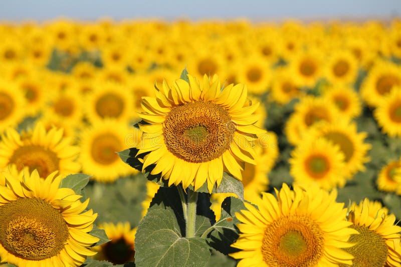 Bella immagine dei girasoli e di assorbire il sole nel campo immagini stock