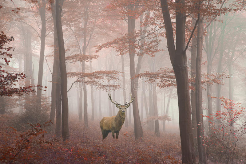 Bella immagine del maschio dei cervi nobili nella foresta variopinta di autunno nebbioso fotografia stock